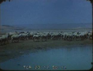 Troupeau de moutons à l'abreuvoir   Albert Weber